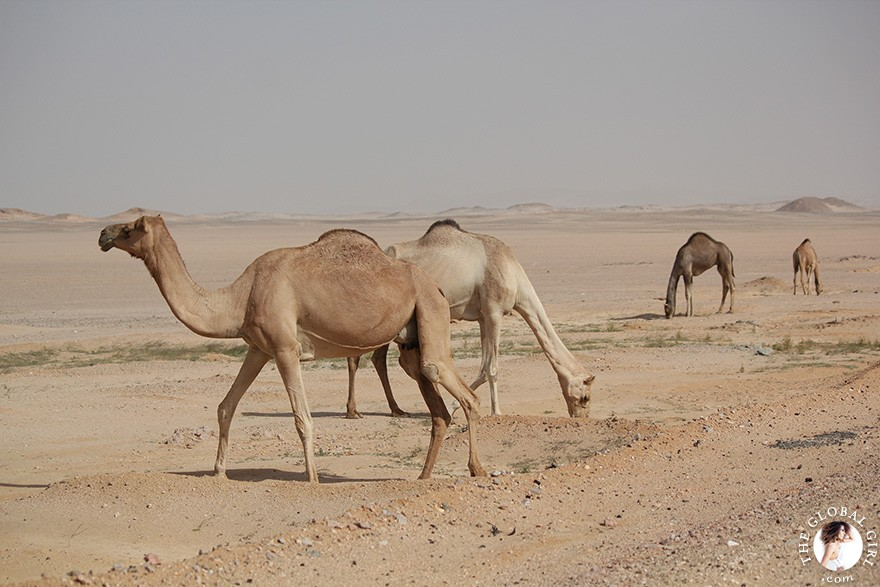 camels-sahara-desert-egypt-north-africa-middle-east-travel-the-global-girl-theglobalgirl-00