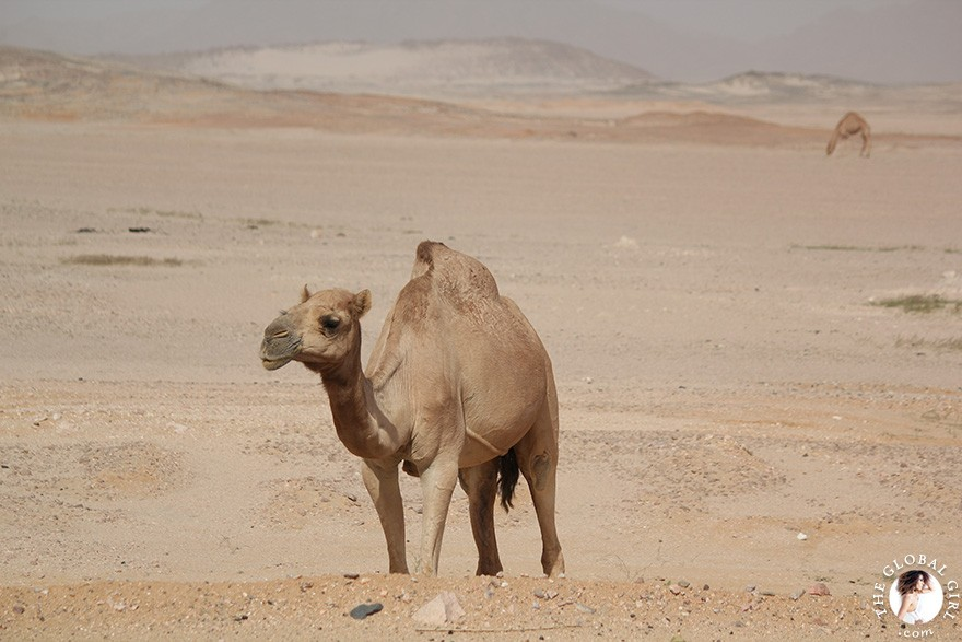 The Global Girl Travels: Camels in the Sahara desert, Egypt.