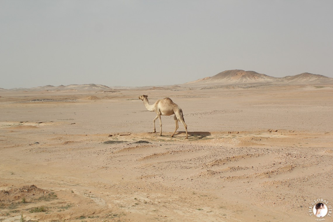The Global Girl Travels: Camel in the Sahara desert, Egypt.