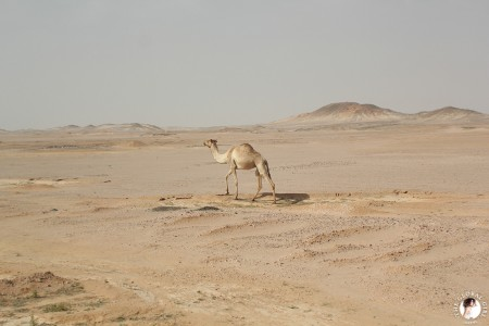 The Global Girl Travels: Camel in the Sahara desert, Egypt.